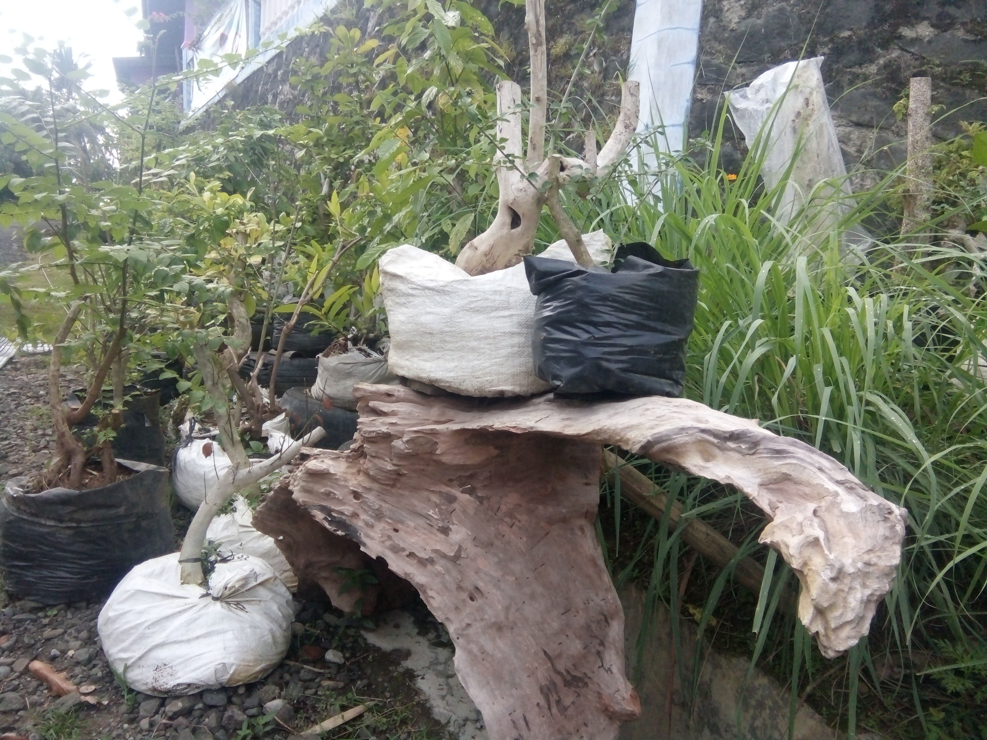jual Bonsai