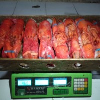 jual lobster