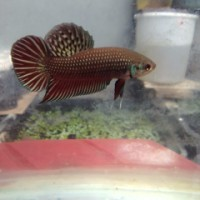jual cupang alam betta imbelis line blood thailand uk S