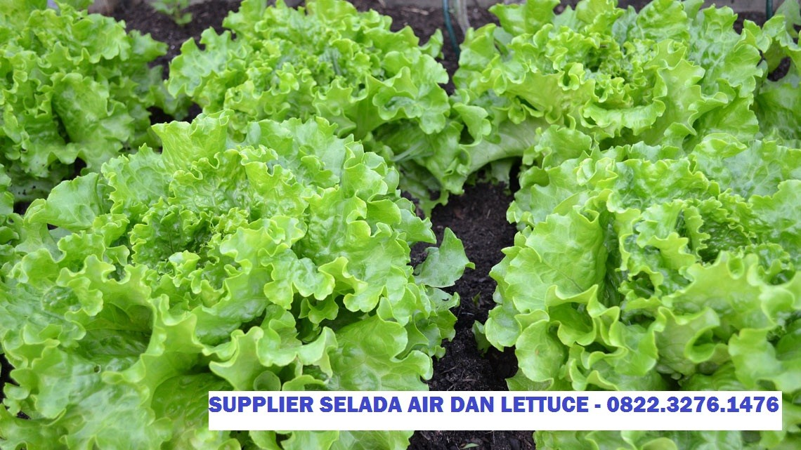 Supplier Rutin Lettuce Head Resto dan Hotel