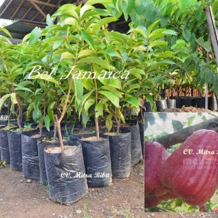jualBibit Jambu Air Bol Jamaica Super