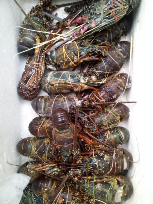 Udang Lobster Air Laut