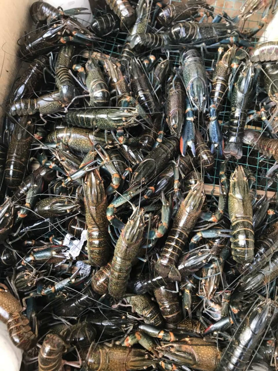 jualJual Bibit Lobster Air Tawar